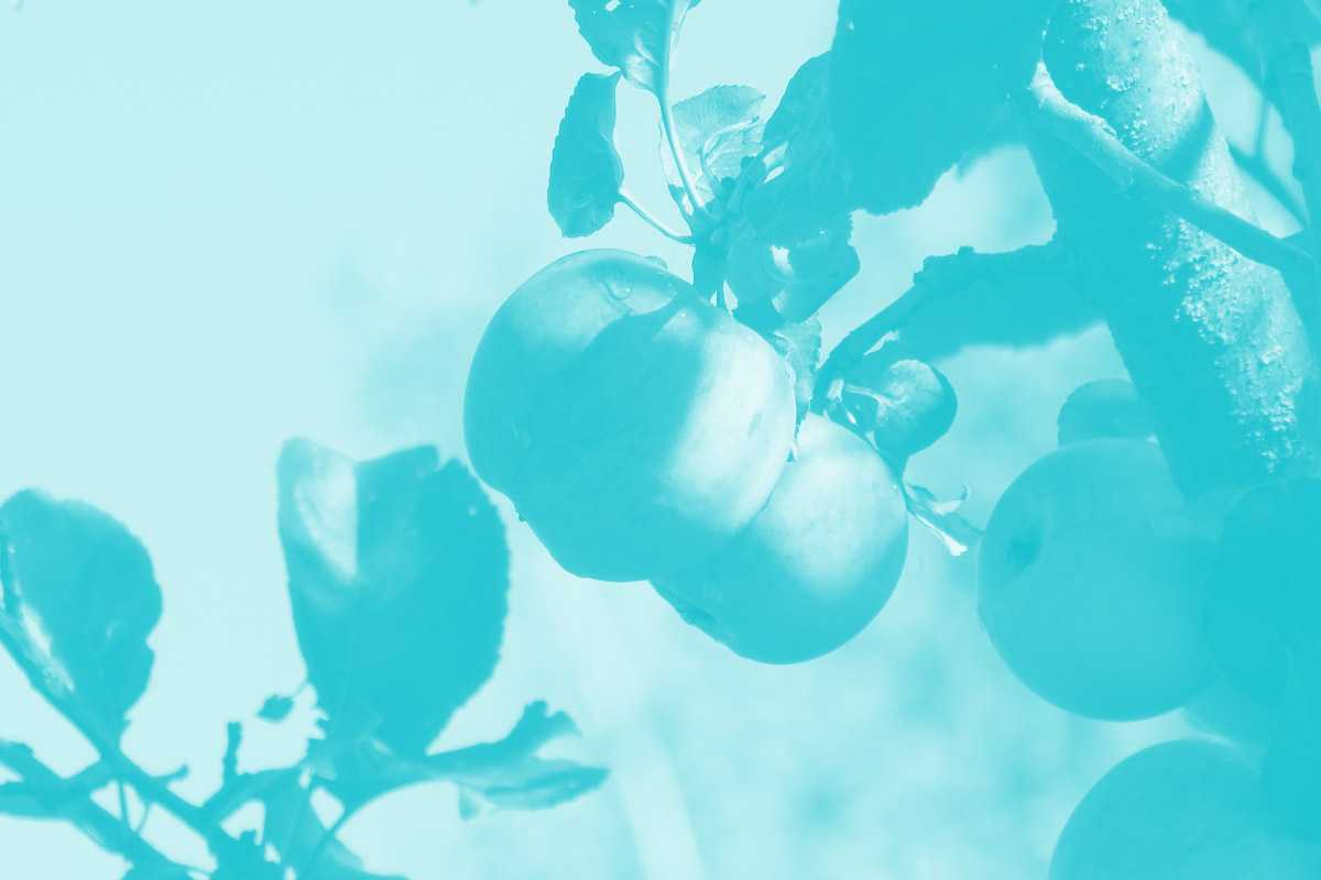 Fotografia de uma árvore de maças alusiva ao conceito de experiência de utilizador e o seu trabalho em equipa